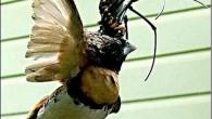 La fotografia di un ragno gigante che mangia un uccello in un giardino australiano, ha sbalordito gli esperti della fauna selvatica La foto mostra il ragno con le sue lunghe gambe nere, avvolte attorno al corpo di un uccello morto, sospeso nella ragnatela (qui, altre foto). Le sorprendenti immagini (risultano […]