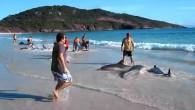 L'incredibile filmato mostra 30 delfiniraggiungere la riva della spiaggia di Arraial do Cabo, in Brasile, quindi dibattersi freneticamente in pochi centimetri d'acqua. I bagnanti vista la difficoltà dei delfini, sono intervenuti per aiutarli a tornare in mare. I primi bagnanticon cautela, seguiti da altri bagnanti, fanno quello che possono per […]
