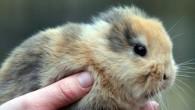 La morte prematura di un coniglietto raro senza orecchie chiamato Til, ha catturato l'attenzione dei media internazionali. In poche settimane era diventato la star dello zoo di Sassonia in Germania a causa della sua graziosa malformazione genetica che lo rendeva irresistibile. E' stato accidentalmente calpestato, ed ucciso, da uno dei […]