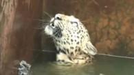 Un leopardo maschio adulto, che era caduto in una vasca per la raccolta d'acqua per l'irrigazione, in una tenuta della Tea Garden, nella parte orientale dell'India, è stato salvato dalle guardie forestali con l'aiuto di una rete. Il salvataggio del grande gatto, sommerso in acqua fino al collo, è stato […]