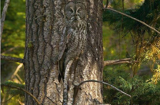 Art Wolfe - Gufo grigio mimetizzato dalla corteccia dell'albero