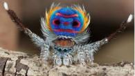 Jurgen Otto, entomologo, racconta: «In Australia durante una passeggiata vicino a un cespuglio, per la prima volta mi sono imbattuto con il piccolo ragno Peacock. Quando sono arrivato a Sydney, ero un po' annoiato perché non c'era abbastanza da fotografare, ma ora non voglio vivere in nessun altro luogo. Il […]