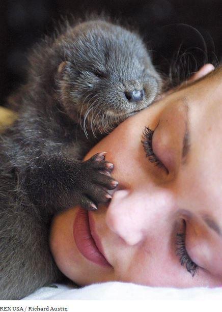 Lontra dorme su un soffice cuscino. Clicca l'immagine per vedere altre foto