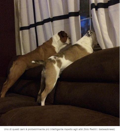 Cani, chi tra i due è il più intelligente