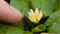 Il giglio d'acqua Nymphaea Thermarum, pianta rara virtualmente estinta era custodita al Kew Gardens di Londra. Gli esperti hanno detto che il responsabile del furto potrebbe essere un ossessionato collezionista. La pianta attualmente è nota non esistere in natura, la polizia inglese sul furto ritiene che abbia avuto luogo il […]