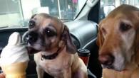 Daisy e Cooper amano il gelato. L'adorabile video mostra perché è importante far aspettare il turno ai cani più grandi, soprattutto quando c'è in offerta un delizioso gelato. Daisy e Cooper dentro la macchina ricevono il gelato attraverso la finestra al McDonalds. L'educato piccolo Daisy lecca leggermente il gelato, sembra […]