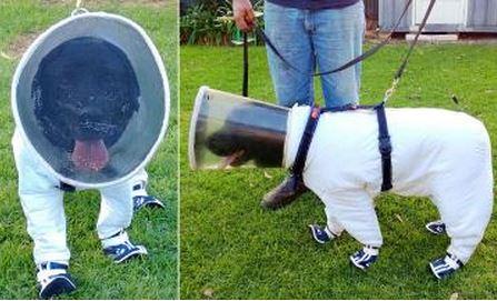 Buzz cane apicoltore fiuta la peste americana