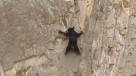 """L'arrampicata sulla roccia è dura, anche per gli orsi, basta guardare questo cuccioloe la sua mamma orsa, impegnarsi come """"umani rocciatori""""sulla parete della Santa Elena Canyon nel Big Bend Nazional Park, Texas. Il cucciolonella sua arrampicata è solo, tiene con il fiato sospeso, in alcuni momenti sembra cadere, altre volte […]"""