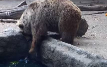 Orso salva corvo da annegamento - video