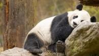 In Cina il Chengdu Research Base of Giant Panda Breeding recentemente ha dovuto annullare la programmata diretta televisiva mondiale caratterizzata dal previsto parto di Ai Hinla femmina di panda di sei anni, ha scoperto che non è incinta. I panda a causa della vasta distruzione degli habitat, l'inquinamento, e il […]