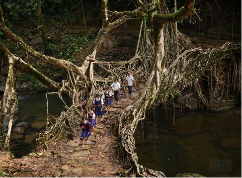 29) Albero Root Bridge, India