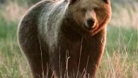 Recentemente quando un possente orso in un sentiero di Island Park a Idaho, ha attaccato una fotocamera di sorveglianza, ha fornito una splendida visuale di ciò che in prima persona si può provare in un simile attacco.Inutile dire che è assolutamente terrificante, ma allo stesso tempo è anche affascinante, giacché […]