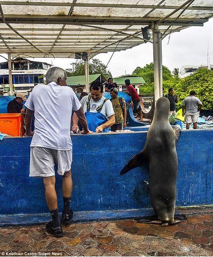 Leone marino in pescheria attende il suo turno per la porzione di pesce