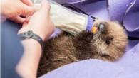 Il nuovo inquilino di Shedd Aquarium è un cucciolo di lontra marina rimasto orfano. E' arrivato presso l'acquario il 28 ottobre 2014, ha solo cinque settimane di età e peso inferiore ai sei chili, dietro le quinte sta ricevendo le cure dei nostri specialisti di lontra marina e veterinaria. Pup […]