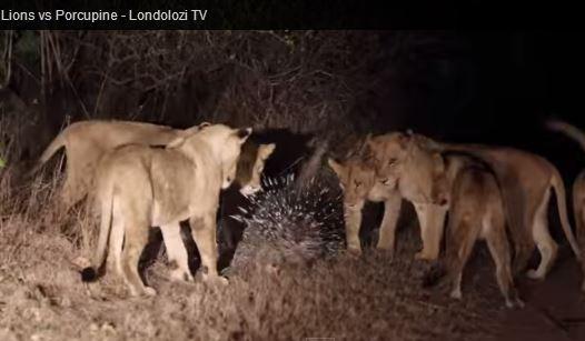 Porcospino contro attacco di 17 leoni