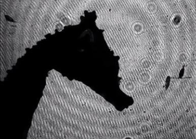 Cavalluccio marino testa sagomata per uccidere