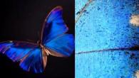 I bellissimi occhi azzurri che molti di noi amano guardare in realtà non esistono, effettivamente siamo ingannati dalla natura. La farfalla Morpho quando riposa su una foglia, mostra la parte inferiore delle ali di un colore marrone terroso. Eppure, quando vola, le ali emanano un luccicante, iridescente riflesso blu. Il […]