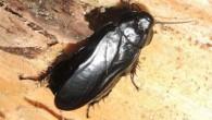 """La nuova blatta (scarafaggio) generalmente non si trova nelle abitazioni, è stata scoperta in tronchi marci da scienziati provenienti dalla Southwest University di Chongqing (Cina). Pensoft riporta che solo 30 delle 4.600 specie di scarafaggi in tutto il mondo sono conosciute per infestare le abitazioni. La nuova specie, """"Panesthia guizhouensis"""", […]"""
