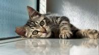 Le coccole con un gatto che fa le fusa sono certamente un'esperienza rilassante. Studi scientifici hanno dimostrato che i proprietari di gatti hanno la pressione del sangue più bassa e possono vivere più a lungo di essere umani che non possiedono animali domestici! Le fusa di un gatto generalmente sono […]