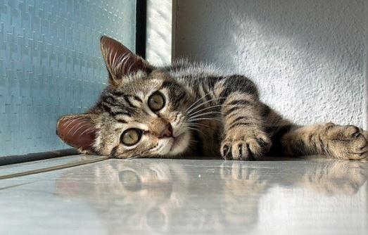 Gatto con parassita Toxoplasma gondii