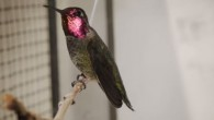 Gli scienziati per filmare le acrobazie aeree del colibrì hanno usato una telecamera ad alta velocità a 1000 fotogrammi il secondo. Hanno visto fotogramma per fotogramma, come né il vento né la pioggia fermano questi eccezionali uccelli. I colibrì per sopravvivere ogni giorno devono consumare in nettare l'equivalente del loro […]