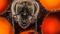 Il fotografo Anand Varma in un progetto per il National Geographic, ha filmato i primi ventuno giorni di vita delle api, mostrandoci all'interno delle loro celle di covata come si trasformano da larva ad adulto. Anand Varma ha presentato il video alla conferenza TED, nel suo intervento ha detto: «Queste […]