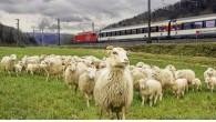 """Chiamatela genialità, il rinomato sistema ferroviario svizzero per mantenere pulite le tratte ferroviarie si basa su greggi di pecore.Le Ferrovie Federali Svizzere (FFS) hanno già impiegato i lavoratori """"lanosi"""" per """"falciare"""" più di 6.000 ettari di terrapieni erbosi lungo le tratte ferroviarie in Svizzera. Daniele Pallecchi portavoce delle FFS ha […]"""