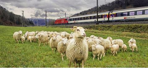 Ferrovie svizzere pecore come tosaerba scarpate tratte ferroviarie