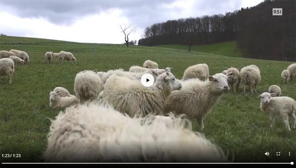 Pecore tosaerba svizzera