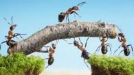 Le formiche sono capaci di notevoli imprese di coordinamento, attraverso la giungla possono creare percorsi complessi, costruire strutture sofisticate, adeguare i modelli di ricerca di cibo adatto al loro ambiente, il tutto senza ordini da una fonte centralizzata. Deborah Gordon, biologo presso la Stanford University, da semplici azioni individuali spera […]