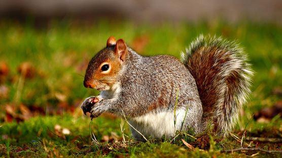 scoiattolo virus