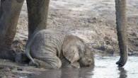 L'elefantino beve l'acqua in questo modo perché è troppo giovane per saper utilizzare la proboscide per aspirare l'acqua per immetterla a getto nella cavità boccale. Baby elephant drinking. When they are this young, they don't yet know how to use their trunk. pic.twitter.com/wVYPZrWkpM — Fascinating Pictures (@Fascinatingpics) 5 Agosto 2015 […]
