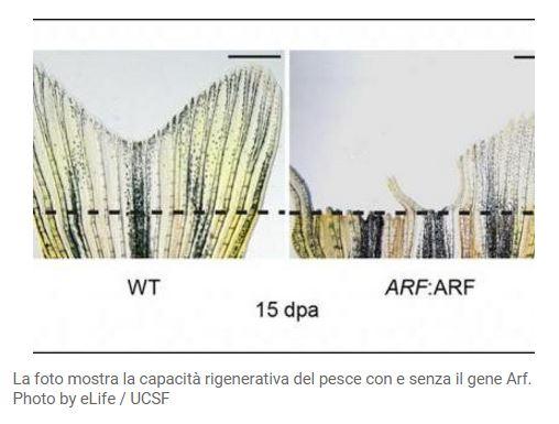 Pesce Zebra foto capacità rigenerative