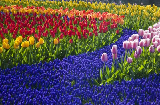 Asta fiori di Aalsmeer