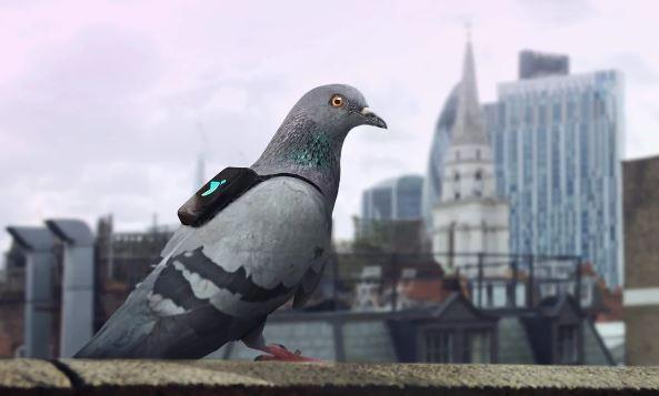 Piccioni a Londra per monitorare inquinamento aria