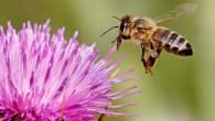 Il nuovo studio ha evidenziato che il declino della popolazione delle api potrebbe essere causato da alta contaminazione di alluminio, un elemento chimico implicato come causa nella malattia di Alzheimer. Si ritiene che un certo numero di fattori siano suscettibili di essere coinvolti nel declino delle api come la mancanza […]