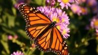 Il Dipartimento di Neurobiologia presso l'University of Massachusetts Medical School ha creato un video, dove si può vedere come una farfalla monarca si comporta in un simulatore di volo, quando il supporto è ruotato manualmente in una nuova direzione, la farfalla monarca si corregge subito per continuare il suo percorso […]