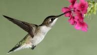 Il colibrì è un uccello affascinante, batte le sue ali 80 volte il secondo, ha il cuore più grande rispetto alle sue dimensioni e il metabolismo più veloce di tutti gli animali, in un minuto il suo cuore può battere fino a 1.200 volte accompagnato da 500 respiri. Il colibrì […]