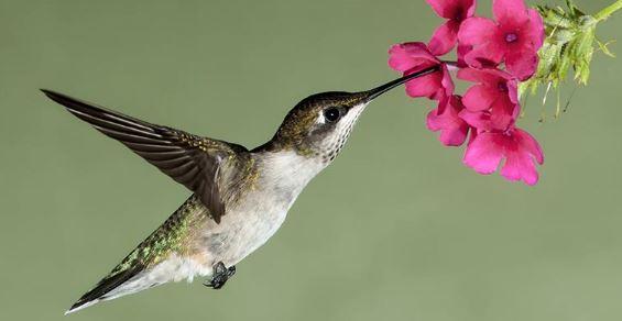 colibrì metabolismo