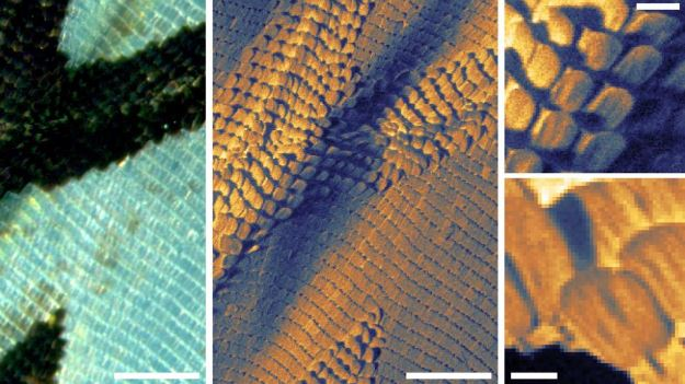 Ala di farfalla vista con il microscopio a scansione di elio