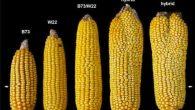 I ricercatori del Cold Spring Harbor Laboratory hanno trovato un modo per aumentare i raccolti di mais, alterando una mutazione del gene che controlla la crescita delle cellule staminali, sono stati in grado di aumentare di quasi il doppio il numero di grani di mais prodotti da diverse pannocchie. La […]