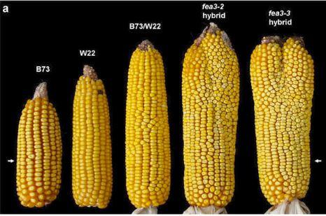 mais mutazione gene aumenta il numero di grani