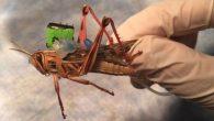 Un team d'ingegneri della Washington University di St. Louis è impegnato a trasformare gli insetti in cyborg, in particolare sfruttare il loro olfatto per rilevare esplosivi. Il team guidato da Baranidharan Raman, per la ricerca è sovvenzionato dall'Office of Naval Researchper lo studio triennale ha ricevuto 750.000 dollari. Raman e […]