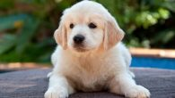 """Adriana Heguy biologa molecolare e genomica sul limite di comunicazione tra umani e cani, intervistata da Forbes, ha detto: «E' una domanda molto aperta come tutte le domande sul """"limite"""". Ci sono chiari vincoli biologici che sono specifici per ogni specie, tuttavia non significano che gli esseri umani non possono […]"""
