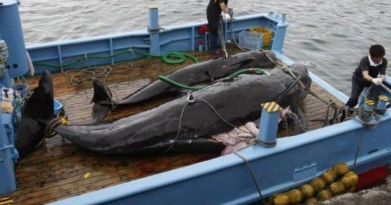 """L'Australia ha detto di essere """"profondamente delusa"""" dal Giappone perché continua la caccia alle balene nell'Oceano Antartico nonostante la fotografia di una balena morta pubblicata dagli attivisti anti-caccia alle balene, e due giorni dopo aver discusso la questione nell'incontro tra leader australiani e giapponesi. L'Australia da qualche tempo si oppone […]"""