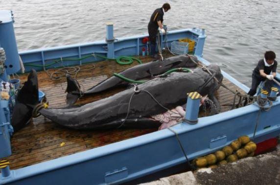 caccia-alle-balene