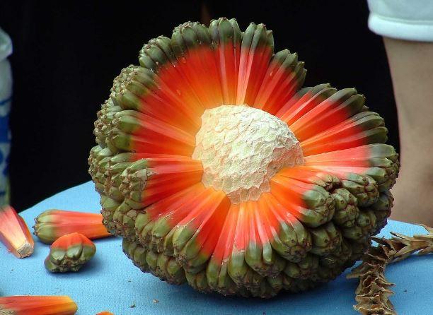Hala frutto