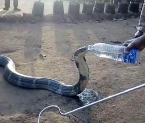 Cobra reale assetato beve da una bottiglia