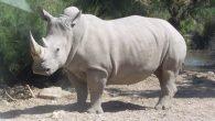 Un rinoceronte bianco in un parco naturale vicino a Parigi è stato ucciso dai bracconieri, sono fuggiti dopo aver tagliato il suo corno con una motosega. Il rinoceronte bianco di cinque anni di nome Vince è stato trovato morto nel parco zoologico di Thoiry, a ovest della capitale francese. Il […]
