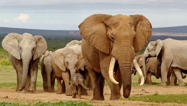 Elefante farmaco fentanil